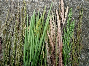 foraging grass for basketry