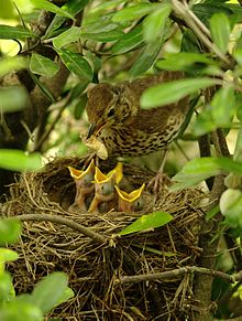 song thrush and brood