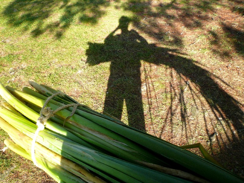 foraging bulrush for basketry