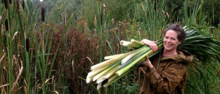 reed mace, cattail harvest
