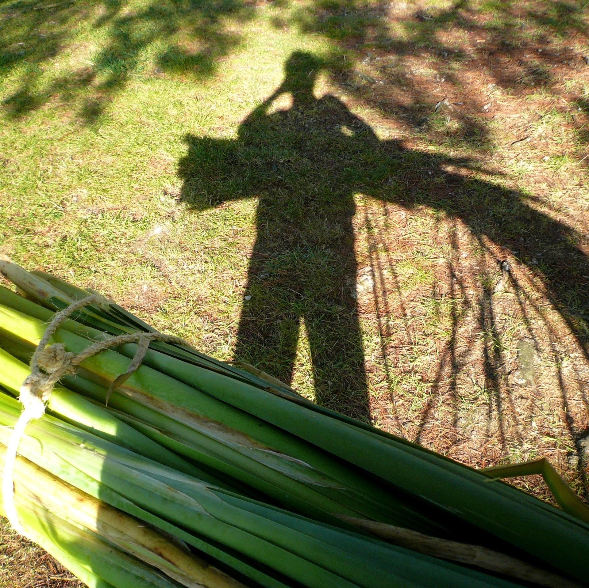 harvesting reed mace