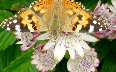 Migration of the Painted Lady Butterfly